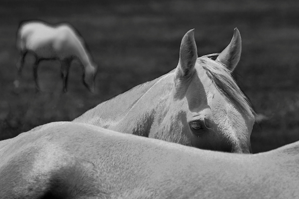 Horses grazing. Black and white photograph