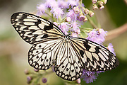 Tree Nymph Butterfly, Idea leuconoe, South Asia, delicate, black and white colours, Paper Kite, Rice Paper, wings open resting on flower