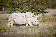 Adult female white rhino walking in grassland, Etosha National Park
