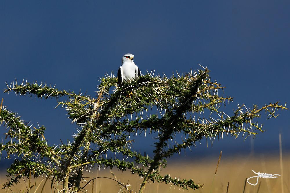 Black-shouldered Kite, Svartvingad Glada, Elanus caeruleus, watching in Simba Kopjes, Serengeti National Park, Tanzania, Africa