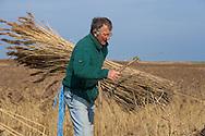 Bunching Reeds Cley Marsh Norfolk