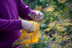 Collecting fennel seed into paper bag. Foeniculum vulgare
