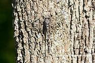 06340-00311 Gray Petaltail (Tachopteryx thoreyi) in fen Washington Co. MO