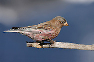Brown-capped Rosy Finch - Leucosticte australis - Adult male
