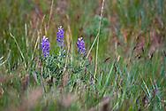 Silky Lupine (Lupinus sericeus) flowers on the shore of Kalamalka Lake near Vernon, British Columbia, Canada
