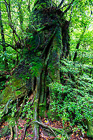The Shiratani Unsuikyo Ravine is a lush nature park containing many of Yakushima island's ancient cedars.  The park offers a network of hiking trails that run along the ravine varying in length from one to five hours long, though many prefer to choose their own routes among the paths. The trails vary in difficulty from basic footpaths to developed paved paths using stone and wood.  One of the main attractions of Shiratani Unsuikyo is a part of the forest that served as the inspiration for the Studio Ghibli animated film Princess Mononoke. Oga Kazuo, the lead artist for the film, spent lots of time here working on sketches for the movie's forests.  Besides the ancient cedar trees, some of them thousands of years old, the continually wet microclimate protects the cedars by enabling them to produce more than usual resin,  It also is an ideal climate for moss, which grows everywhere here.