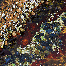 Barnicles, periwinkles, lichen, seaweed, and blue mussels in a tide pool at Wonderland in Maine's Acadia National Park.