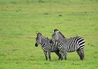 Grant's Zebra, Equus quagga boehmi, in Arusha National Park, Tanzania. On their backs are four Red-billed Oxpeckers,  Buphagus erythrorhynchus.