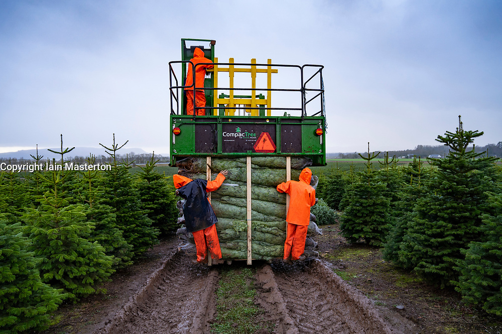 Milnathort, Scotland, UK. 23 November 2020. Christmas trees are being harvested in a plantation near Milnathort in Perth and Kinross. The plantation is operated by the Kilted Tree Company based near Milnathort. Workers cut selected trees and these are fitted inside protective sleeves using specialist machinery on tractors before being transported to market. Credit.  Iain Masterton