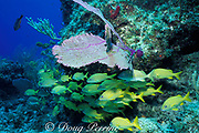 French grunts, <br /> Haemulon flavolineatum, <br /> West End, Grand Bahama, Bahamas (Atlantic)