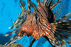 Indian lionfish, Pterois miles, Egypt, Red Sea