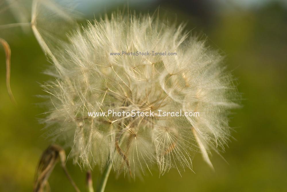 fluffy seed balls - Dandelion Head