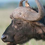 Cape Buffalo (Syncerus caffer) and Yellow-billed Oxpecker (Buphagus africanus). Masai Mara National Reserve, Kenya, Africa