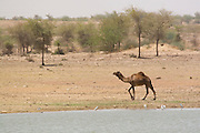 India, Rajasthan, Jaisalmer, A camel on the shores of Gadi Sagar lake