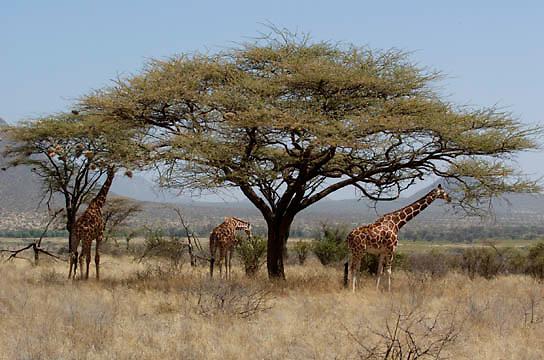 Reticulated Giraffe (Giraffa camelopardalis reticulata) Feeding. Samburu Game Reserve. Kenya. Africa.