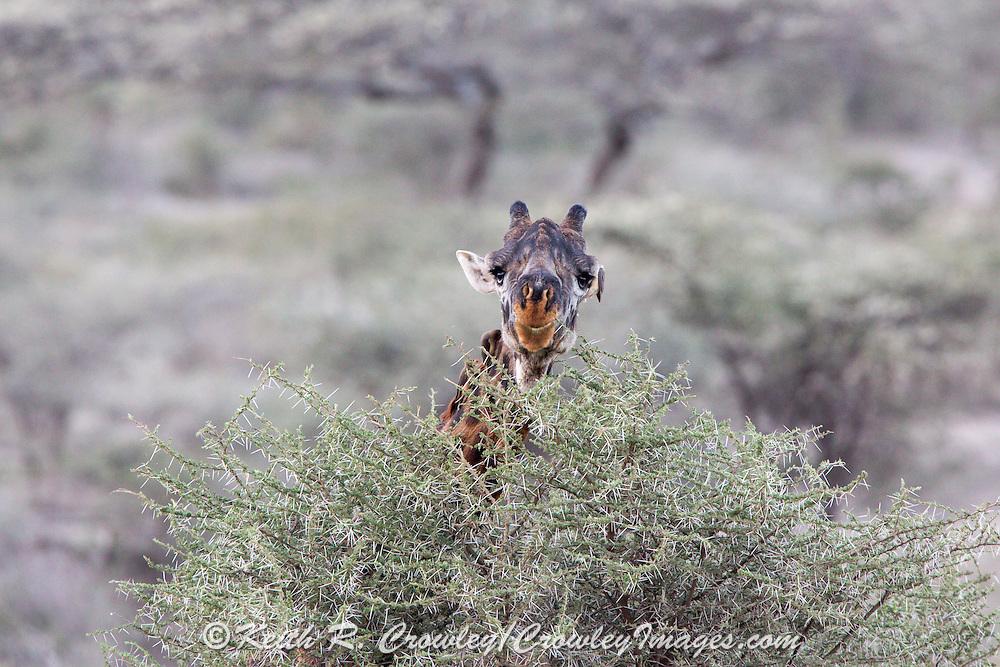 Giraffe in African habitat