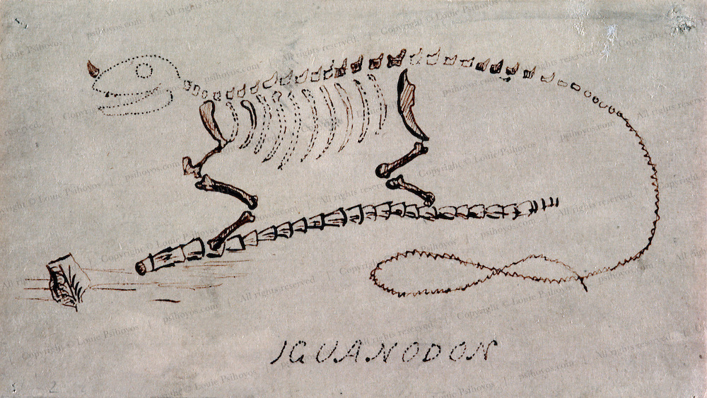 Working eventually with more Iguanodon remains, Gideon Mantell made the first reconstruction of a dinosaur above.  From the Natural History Museum, London.