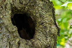Knot hole in a tree trunk