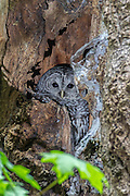 A barred owl (Strix varia) rests on its nest in a decaying tree in Interlaken Park, Seattle, Washington. Barred owls nest in existing tree cavities or use abandoned platform nests.