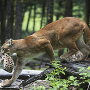 Mountain lion (Puma concolor) female carrying a cub. Montana, Captive Animal