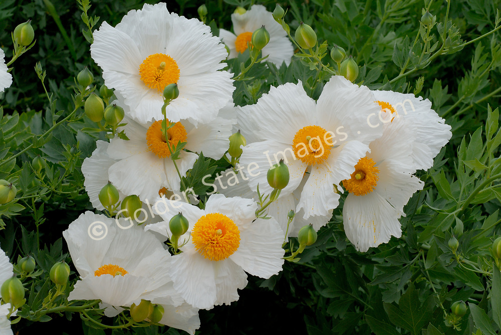 Its flowers are the largest of any California native plant. Found in dry washes and canyons away from the immediate coast and below 4000' elevation. <br />    <br /> Blooms May to July.    <br />    <br /> Range: Native to California <br />    <br /> Species: Romneya coulteri