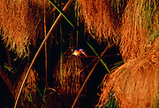 Malachite kingfisher bird and papyrus in the Okavango Delta, Botswana, Africa
