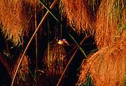 Malachite kingfisher bird and papyrus in the Okavango Delta, Botswana, Africa