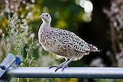 Female hen pheasant perched on a fence, Herefordshire, England, United Kingdom