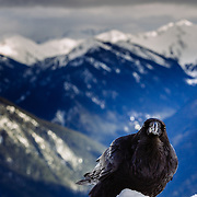 A raven on the top of Hurricane Ridge in Olympic National Park after a large winter snow year.