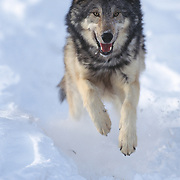 Gray wolf (Canis lupus) running during winter in Montana. Captive Animal