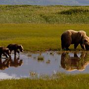 Alaskan Brown Bear (Ursus middendorffi) Mother with young cubs in walking through water, mother forging for grasses. Katmai National Park. Alaska. Spring...Alaskan Brown Bear (Ursus middendorffi) Mother with young cubs in walking through water, mother forging for grasses. Katmai National Park. Alaska. Spring.