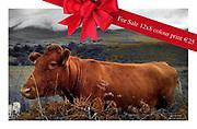 Cow at Ballaghbeama, Kerry.,<br /> Photo Mary Susan MacMonagle © macmonagle.com