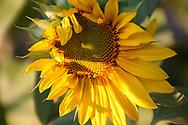 Sunflower lit by evening sunshine