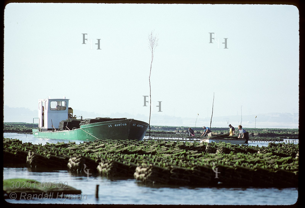 Oystermen race rising tide to load sacks of Japanese oysters onto their boat; Quiberon Bay. France