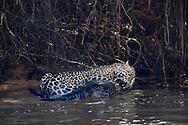 Männlicher Jaguar (Panthera onca) mit erbeutetem Brillenkaiman, Pantanal, Brasilien<br /> <br /> Male Jaguar (Panthera onca) with captured Yacare caiman, Pantanal, Brazil