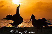 Black-footed albatross, Phoebastria nigripes, sky pointing during courtship dance at sunset, Sand Island, Midway Atoll, Midway National Wildlife Refuge, Papahanaumokuakea Marine National Monument, Northwest Hawaiian Islands, USA ( North Pacific Ocean )