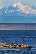 A group of harbor seals (Phoca vitulina) rest on the eastern tip of Protection Island National Wildlife Refuge in Jefferson County, Washington, as Mount Baker towers in the background.  Protection Island, located at the mouth of Discovery Bay in the Strait of Juan de Fuca, is a 364-acre island that serves as pupping grounds for hundreds of harbor seals. Mount Baker is a 10,781 foot (3,286 meter) volcano that is part of the Cascade Mountain Range.