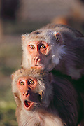 (1992) A copulating pair of monkeys. Using Rhesus monkeys, the National Institute of Health is attempting to develop retro-viral free (Herpes-B free) monkeys because virus-carrying monkeys can throw off test results. The goal is to minimize inbreeding to insure a pure test breed.  Human probes are being used to identify polymorphism in monkeys, and the monkeys' blood samples are DNA fingerprinted.  Monkeys are moved among half-acre outdoor pens and other smaller cages thereby minimizing inbreeding. University of California Davis, Department of Anthropology. DNA Fingerprinting.