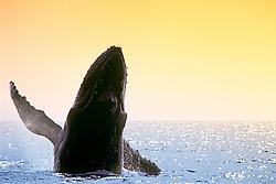 humpback whale, Megaptera novaeangliae, breaching at sunset, Hawaii, USA, Pacific Ocean