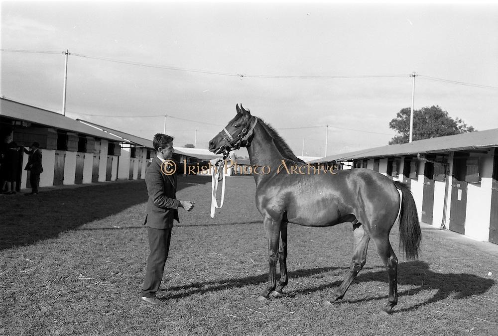 20/091967<br /> 09/20/1967<br /> 20 September 1967<br /> Goffs September Sales at Ballsbridge, Dublin. Picture shows a yearling bay colt, the property of Mr Richard S. McC