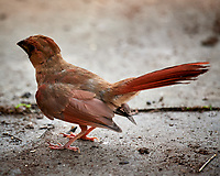 Teenage Northern Cardinal. Image taken with a Nikon D5 camera and 600 mm f/4 VR lens