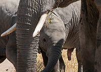 A baby African Elephant, Loxodonta africana, surrounded by adults in Serengeti National Park, Tanzania
