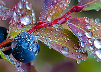 Huckleberry and leaves macro in autumn, Cascade Mountain Range, Washington, USA