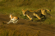 Lioness hunting, taking down Thompson gazelle.