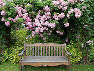Rosa 'Ballerina' growing over a teak garden bench at Newby Hall, Ripon, North Yorkshire, UK