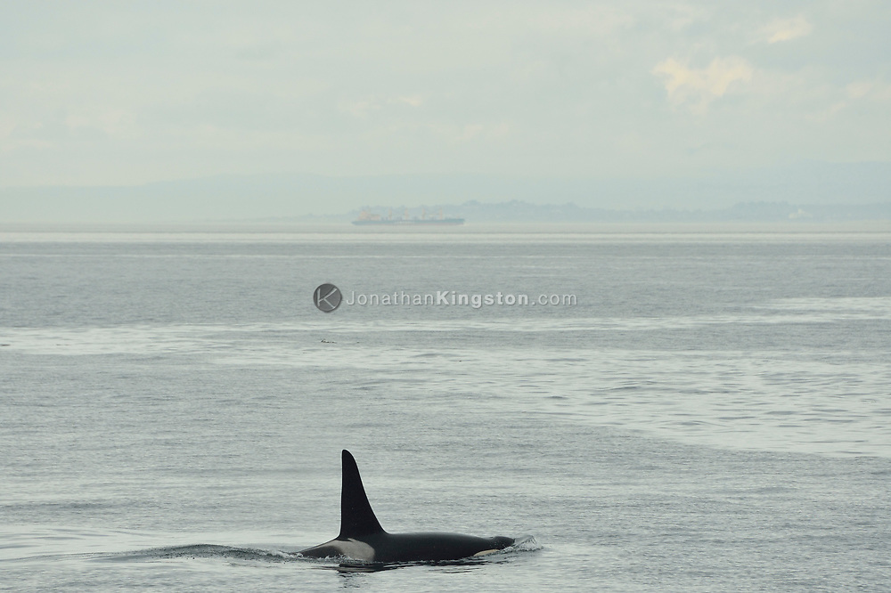 A killer whale swims in the waters of the San Juan Islands, Washington, a freighter is visible in the background.