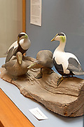 """""""Common Eider group, 1970."""" Bird carving by Wendell Gilley"""