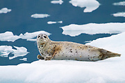 A harbor seal on an iceberg in Alaska.