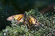close-up of monarch butterfly on a white flower with blured background.