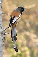 Rufous Treepie - Dendrocitta vagabunda